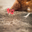 Closeup of a hen in a farmyard - Stok fotoğraf