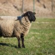 Suffolk black-faced sheep  grazing on a meadow - Foto Stock