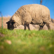 Suffolk black-faced sheep  grazing on a meadow — Stock Photo