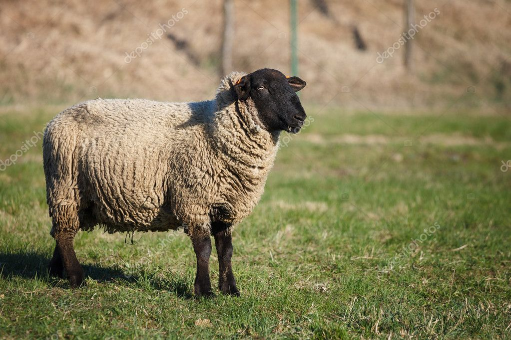Suffolk black-faced sheep (Ovis aries) grazing on a meadow — Stock Photo #10957454