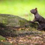 Closeup of a red squirrel (Sciurus vulgaris) — Stock Photo #11302804