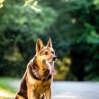 Royalty-Free Stock Photo: Beautiful German Shepherd Dog (Alsatian) outdoors, in warm eveni