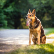 Beautiful German Shepherd Dog (Alsatian) outdoors, in warm eveni - Stock Photo