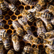 Macro shot of bees swarming on a honeycomb — Stock Photo