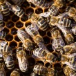 Macro shot of bees swarming on a honeycomb — Stock Photo #11303001