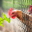 Stock Photo: Hen in farmyard