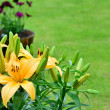 Yellow lily flowers, Lilium — Stock Photo