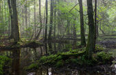 Summertime sunrise in wet stand of Bialowieza Forest — Stock Photo