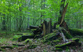 Monumental broken oak lying — Stock Photo