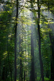Sunbeam entering rich deciduous forest — Stock Photo