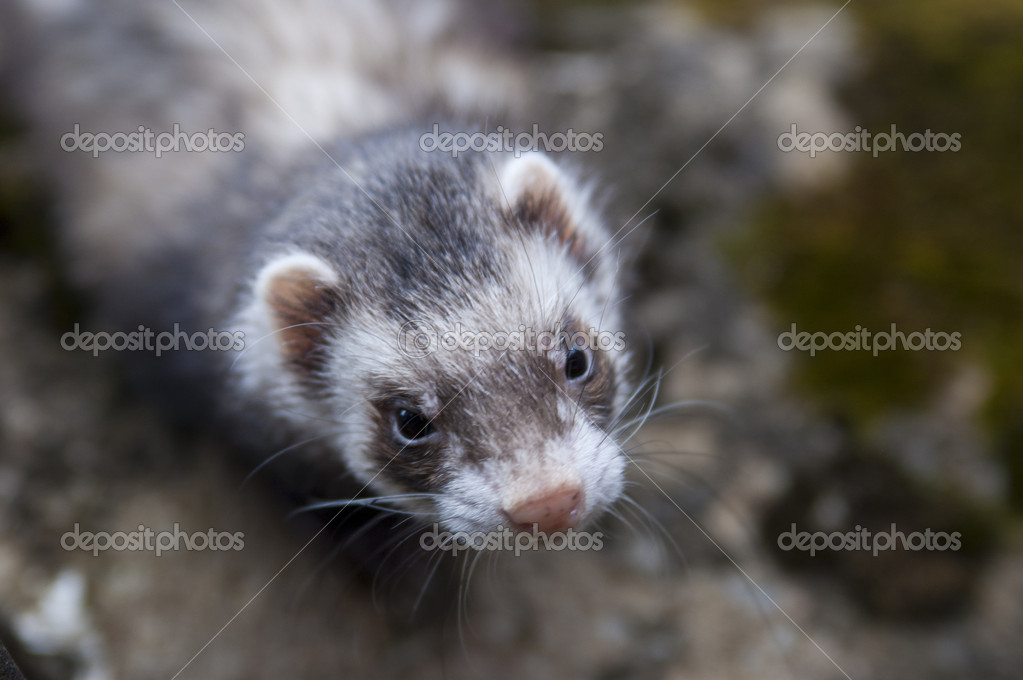 Ferret looking on camera with very grim face — Stock Photo #10833973