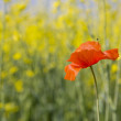 Stock Photo: Orange poppy is booming under summer sun