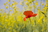 Orange poppy is widely booming under sun — Stock Photo