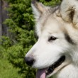 Smart and thoughtful white dog on camera — Stockfoto