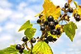 Moras negras frescas y sabrosas — Foto de Stock