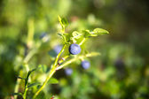 Zoomed blueberries on its plant in forest — Stock Photo