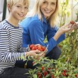 Young woman with teenager harvesting tomatoes — Stock Photo