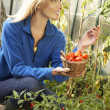 Young woman harvesting tomatoes — Stock Photo #11878959