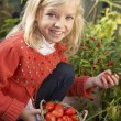 Young child harvesting tomatoes — ストック写真
