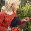 Young child harvesting tomatoes — Stock Photo #11878969
