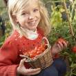 Young child harvesting tomatoes — Stockfoto #11878970