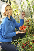 Young woman harvesting tomatoes — Stock Photo