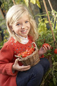 Young child harvesting tomatoes — Stock Photo