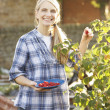 Woman picking fruit on allotment - Stock Photo