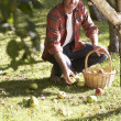 Stock Photo: Mcollecting apples off ground