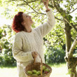 Stock Photo: Wompicking apples off tree