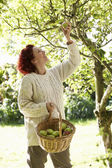 Woman picking apples off tree — Stockfoto