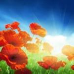Poppy flowers on field — Stock Photo