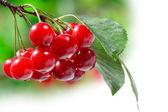 красивая свежей вишни на ветке — Стоковое фото
