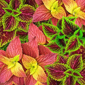Beautiful Multi Colored of leaves ( Painted nettle - coleus ) — Stock Photo