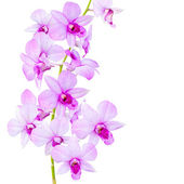 Flowers Orchid — Stock Photo