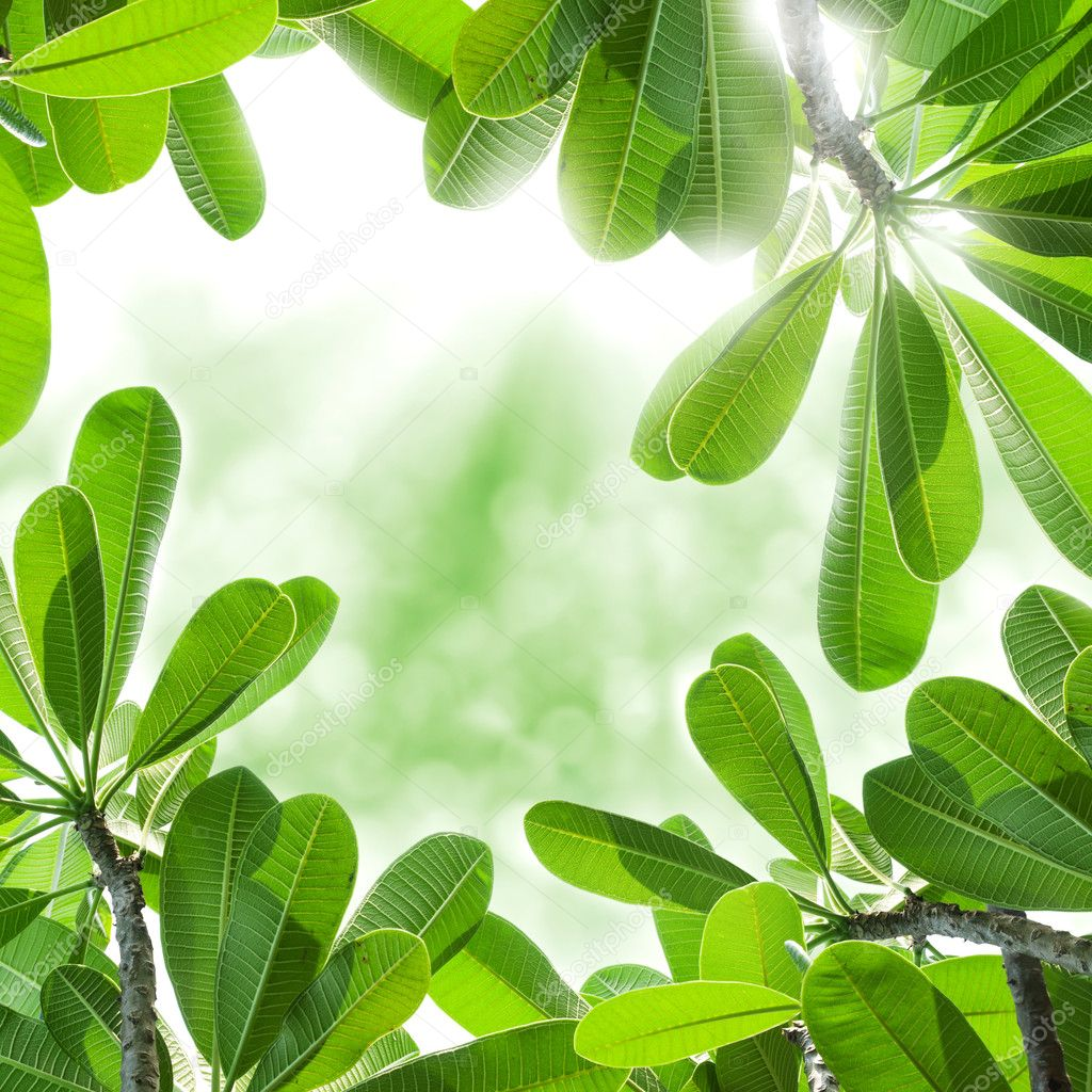Green leafs of frangipani tree with a sunlight. — Stock Photo #12186788