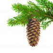 Spruce branch with cone — Stock fotografie