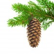 Spruce branch with cone — Stockfoto