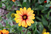 çiçek açan gazania — Stok fotoğraf