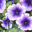 Purple petunias — Stock Photo