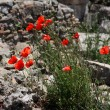 Royalty-Free Stock Photo: Many red poppies on stone background.