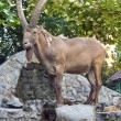 Siberian ibex - Stock Photo