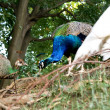 Stock Photo: Peacocks peck in forest