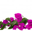 Brunch of bougainvillea flowers — Stock Photo