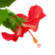 Red  flower of hibiscus — Foto de Stock