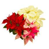 Poinsettia flower - christmas star — Stock Photo