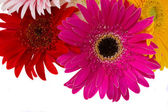 Border of gerbera flowers — Stock Photo