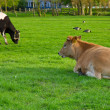 Holland cow resting on green grass — Stock Photo