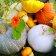 Stock Photo: Pumpkins and marrows crop