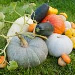 Урожай тыквы и кабачки — Стоковое фото